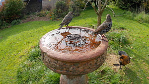 Two Common starlings (Sturnus vulgaris) landing at and drinking from a birdbath before taking off, Somerset, England, UK, October.  -  Michael W. Richards
