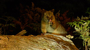 Common brushtail possum (Trichosurus vulpecula) feeding at night, Ben Lomond National Park, Tasmania, Australia. - Dave Watts