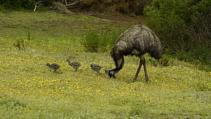 Male Emu (Dromaius novaehollandiae) feeding, with four chicks, Tower Hill, Victoria, Australia. - Dave Watts