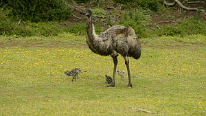 Male Emu (Dromaius novaehollandiae) with four chicks, Tower Hill, Victoria, Australia. - Dave Watts