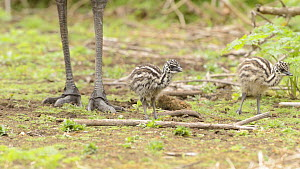 Male Emu (Dromaius novaehollandiae) feeding, with two chicks, Tower Hill, Victoria, Australia. - Dave Watts