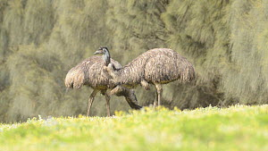 Two Emus (Dromaius novaehollandiae) feeding, Tower Hill, Victoria, Australia. - Dave Watts