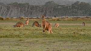 Male Eastern grey kangaroo (Macropus giganteus) looking at camera and hopping away, with others grazing in the background, Narawntapu National Park, Tasmania, Australia.  -  Dave Watts