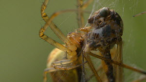 Garden spider (Araneus) feeding on a Crane fly (Tipulidae) caught in its web, England, UK, September. - James Dunbar