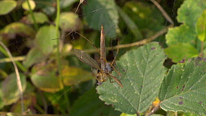 Garden spider (Araneus) killing a Crane fly (Tipulidae) caught in its web, England, UK, September. - James Dunbar