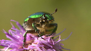Rose chafer (Cetonia aurata) nectaring on a thistle flower, England, UK, September. - James Dunbar