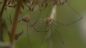 Male Harvestman (Leiobunum rotundum) courting a female, England, UK, September.  -  James Dunbar