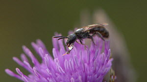 Sweat bee (Lasioglossum) condensing nectar on a Thistle (Cirsium) flower, England, UK, September.  -  James Dunbar