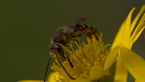 Close-up of a Sweat bee (Lasioglossum) nectaring on a flower before taking off, England, UK, September.  -  James Dunbar