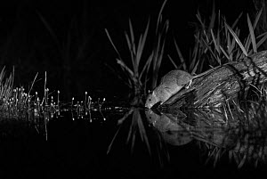 Brown rat (Rattus norvegicus) drinking at night, taken at night using infra-red, Mayenne, Pays de la Loire, France.  -  Eric  Medard