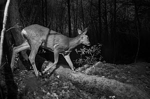 Roe deer (Capreolus capreolus) female, taken at night using infra-red, Mayenne, Pays de la Loire, France. - Eric  Medard