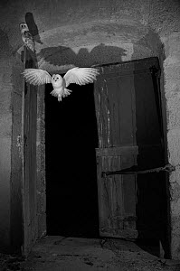 Barn owl (Tyto alba) flying into barn at night, taken with infra red remote camera trap, Mayenne, Pays de Loire, France, November.  -  Eric  Medard