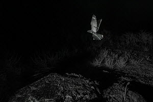 Nightjar (Caprimulgus europaeus) in flight, taken at night with infra-red remote camera trap, France, June. - Eric  Medard