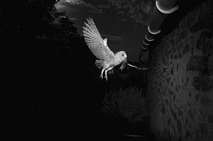 Barn owl (Tyto alba) flying towards barn with rodent prey in beak, taken at night with infra red remote camera trap, Mayenne, Pays de Loire, France.  -  Eric  Medard