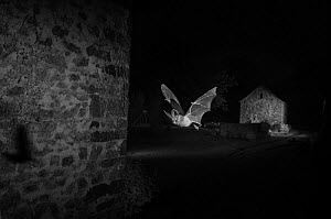 Grey long-eared bat (Plecotus austriacus) in flight past a barn, taken at night with infra-red remote camera trap. Mayenne, France, July. - Eric  Medard