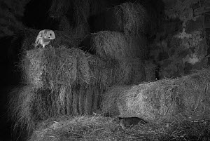Barn owl (Tyto alba) among hay stacks watching Brown rat (Rattus norvegicus) with head tilted to side. Mayenne, Pays de Loire, France.  -  Eric  Medard