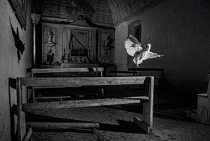 Barn owl (Tyto alba) flying in old chapel at night, taken with infra red remote camera trap, Mayenne, Pays de Loire, France, November.  -  Eric  Medard
