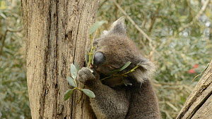 Koala (Phascolarctos cinereus), eating Eucalyptus leaves, Victoria, Australia. - Dave Watts