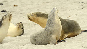 Two female Australian sea lions (Neophoca cinerea) playing and interacting on a beach, with others nearby, Seal Bay Conservation Area, Kangaroo Island, South Australia.  -  Dave Watts