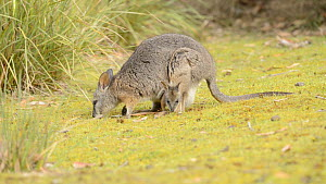 Female Tamar wallaby (Macropus eugenii) grazing with a joey in her pouch, Kangaroo Island, South Australia. - Dave Watts