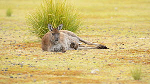 Female Western grey kangaroo (Macropus fuliginosus) rolling with a large joey in her pouch, Kangaroo Island, South Australia.  -  Dave Watts