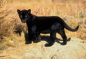 Black Jaguar (Panthera onca) kitten, captive.  -  Charlie  Summers