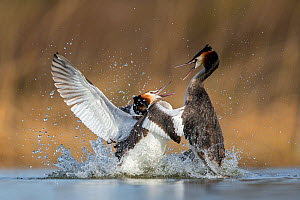 Great crested grebe (Podiceps cristatus) fighting in territorial dispute in the breeding season. The Netherlands. April.  -  David  Pattyn