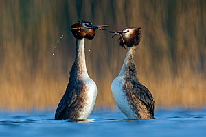 Great Crested Grebe (Podiceps cristatus) pair in courtship weed dance during courtship close to a reedbed. The Netherlands. April.  -  David  Pattyn