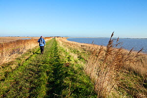 Person walking along the Steart Marshes adjoining the Bristol Channel and the River Parrett Estuary, allowed to flood on high tides to create new salt-marsh habitat, Somerset, UK, December 2014. - John Waters