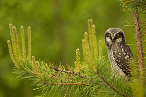 Hawk Owl (Surnia ulula) perched in a pine, Finland, June. - Danny Green