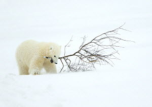 Polar bear (Ursus maritimus) cub playing with branch,Churchill, Canada, November  -  Danny Green