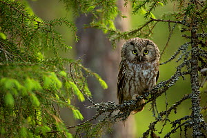 Tengmalm's Owl (Aegolius funereus) perched on a branch, Finland - Danny Green