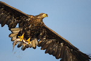 White-tailed eagle (Haliaeetus albicilla) in flight, Norway, August  -  Danny Green