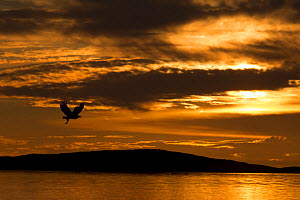 White-tailed eagle (Haliaeetus albicilla) in flight at sunset, Norway, August  -  Danny Green