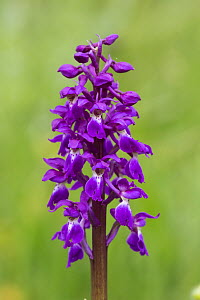 Early purple orchid (Orchis mascula) Lathkilldale, Derbyshire, Peak District, England, UK, May.  -  Chris  Mattison