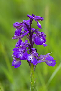 Green-winged orchid (Anacamptis morio) Willwell Farm Cutting, Nottingham, England, UK, May.  -  Chris  Mattison