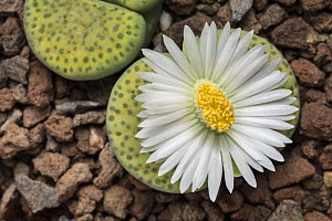 """Living stone plant flower (Lithops fulviceps """"aurea"""") cultivated plant native to  South Africa. Focus-stacked image.  -  Chris  Mattison"""