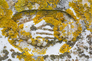 Yellow sunburst lichen (Xanthoria parietina) growing on a headstone, Fetlar, Shetlands, Scotland, UK, June.  -  Chris  Mattison