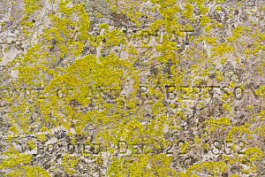 Lichen (Xanthoria ucrainica) on headstone, Fetlar, Shetlands, Scotland, UK, June.  -  Chris  Mattison