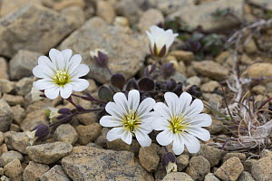 Edmonston's chickweed (Ceratium nigrescens) growing amongst serpentine rubble, Keen of Hamar, Unst, Shetlands, Scotland, June.  -  Chris  Mattison