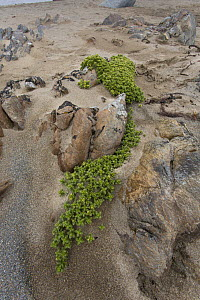 Sea-milkwort (Glaux maritima) growing on rocks, Norwick, Unst, Shetlands, Scotland, UK, June.  -  Chris  Mattison