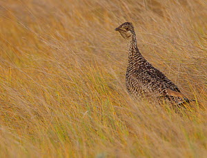 Sharp-tailed grouse (Tympanuchus phasianellus) in prairie grasses, Grasslands National Park, Saskatchewan, Canada, July. - Todd  Mintz