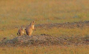Black tailed prairie dog (Cynomys ludovicianus) mother and pup at burrow entrance, Grasslands National Park, Saskatchewan, Canada, July. - Todd  Mintz