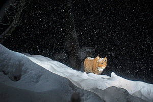 European lynx (Lynx lynx) male walking through snow at night, Switzerland, November. Taken with remote camera trap. Commended in the Mammals category of the GDT European Photographer of the Year 2015.... - Laurent Geslin