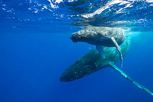 Humpback whales (Megaptera novaeangliae) mother and calf, Kohala, Kona, Hawaii, USA. - Doug Perrine