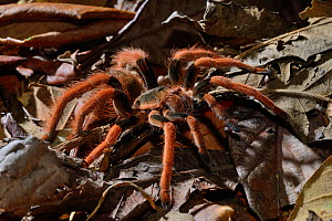 Columbian red-leg tarantula (Megaphobema robusta) captive, occurs in Columbia  -  Daniel  Heuclin
