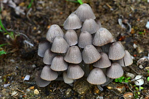Fairies' bonnets toadstools (Coprinellus disseminatus) Dorset, UK August. - Colin Varndell