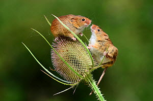 Harvest mice (Micromys minutus) on teasel seed head. Dorset, UK, August. Captive. - Colin Varndell