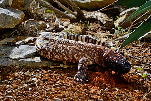 Mexican beaded lizard (Heloderma horridum) captive, endemic to Mexico. Venomous species  -  Daniel  Heuclin