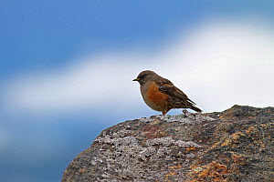Collared accentor (Prunella collaris) on rock,  Mount Namjagbarwa, Yarlung Zangbo Grand Canyon National Park, Tibet, China.  -  Dong Lei